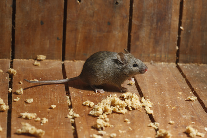 Rodent Removal Rockwall