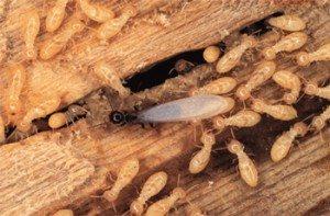 Termite Control Rockwall