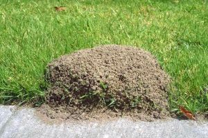 Pest Control Rockwall Fire Ants